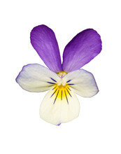 Wild Pansy (Viola Tricolor) Or Johnny Jump Up, Heartsease, Heart's Ease, Heart's Delight, Tickle-my-fancy, Jack-jump-up-and-kiss-me, Come-and-cuddle-me, Three Faces In A Hood, Or Love-in-idleness