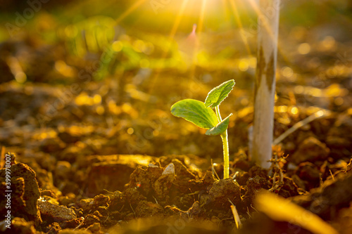 Fototapeta Seeding corn or maize plantation in soil of organic farm agriculture in country, vegetable growth small on ground land, rays light sun on leaf and stem of plant, new green fresh growing in field obraz