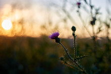 Welted Thistle In The Sunset Field