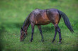 a horse grazing in a grass field