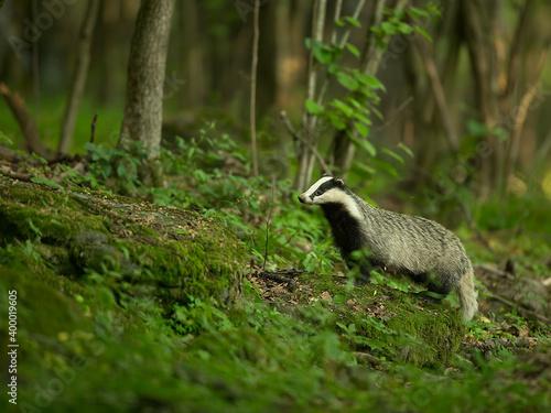 Slika na platnu badger