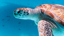 Amazing Shot Of A Sea Turtle Swimming In The Crystally Clear Water
