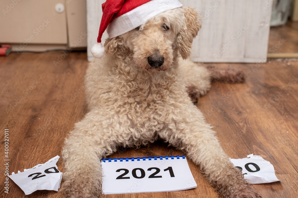 Fototapeta The dog and 2021. There is a torn calendar for the outgoing year 2020.