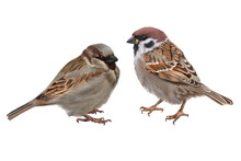 Digital Set With Cute Sparrows Birds White Background.