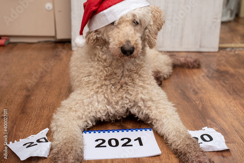 Fototapeta The dog and 2021. There is a torn calendar for the outgoing year 2020. obraz