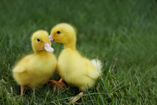 Cute Fluffy Goslings On Green Grass Outdoors. Farm Animals