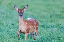 White-tailed Deer (Odocoileus Virginianus) Fawn Standing Alert In A Field During Summer In Wisconsin. Selective Focus, Background Blur And Foreground Blur