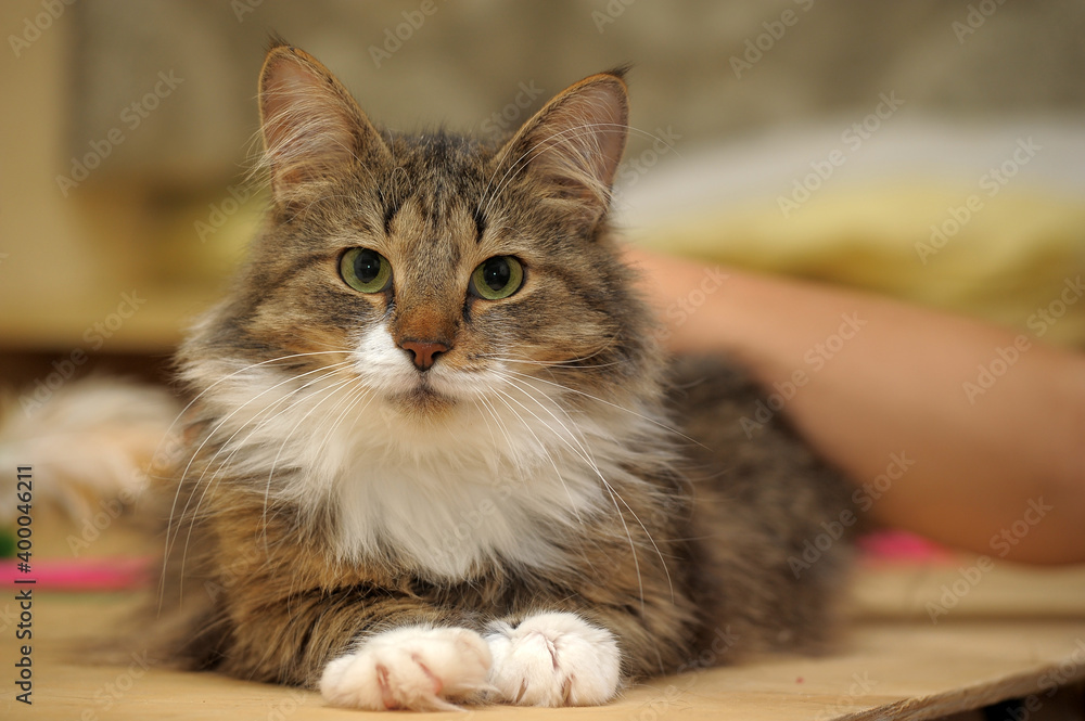 Fototapeta beautiful brown fluffy Norwegian forest cat