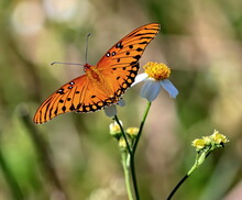 Close Up Of A Gulf Fritillary Butterfly Perched Upon A Small Flower For It's Nectar.