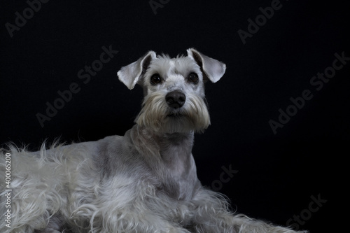 Fototapeta Shot of a white funny Miniature Schnauzer dog obraz