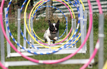 Selective Focus Shot Of A French Bulldog Running Through An Agility Tunnel
