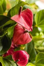 Closeup Shot Of Beautiful Anthurium Plant