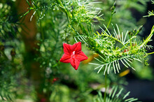 Cypress Vine, Cypressvine Morning Glory Or Cardinal Creeper (Ipomoea Quamoclit)