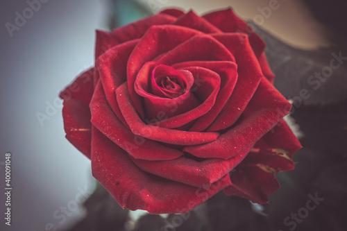 Obraz Czerwona róża - fototapety do salonu