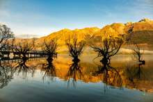 Landmark Bare Willow Trees Growing In A Line In Lake Wakatipu At Glenorchy  Under The Sunlight Southern Alps