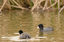 American Coots Swimming And Feeding