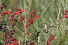 Image Of Hamming Bird In Natural Setting