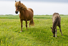 Icelandic Horses (female And Foal) Grazing In Field, Iceland