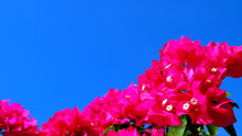Fresh Bougainvilleas On Blue Sky Background