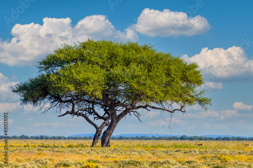 Yellow blooming savanna - blooming Kalahari desert with alone green acacia tree after rain season, South Africa wilderness landscape