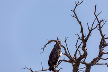 Majestic Bird Of Prey, Martial Eagle (Polemaetus Bellicosus)perched On Dead Tree, Namibia Africa Safari Wildlife
