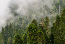 Foggy Mountainside Evergreen Forest - Layered Pines In Front Of And Behind Fog