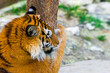 canvas print picture - Close up view of a Siberian tiger or Panthera tigris altaica