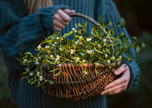 Young Girl Holding A Wicker Basket With Mistletoe Branches With Green Leaves And White Berries. (Viscum Album). Christmas Tradition Concept. Selective Focus.