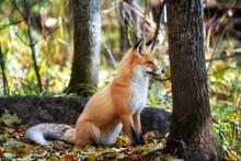 The Fox Sits Among Trees And Stones And Looks Into The Distance
