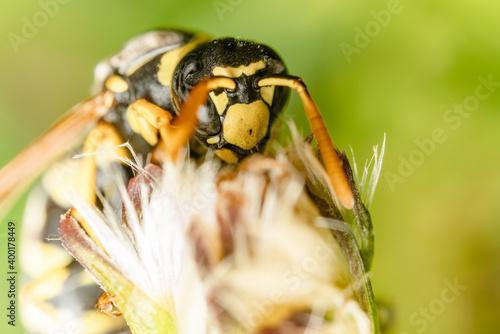 Foto Macro di una vespa