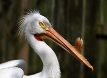 Headshot Of American White Pelican With Mating Bill.