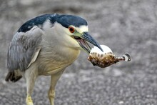 A Red Eyed Black-crowned Night Heron Holding A Blowfish In It's Beak. Nycticorax Nycticorax.