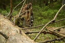 Sterbender Baumstamm Mit Baumpilzen