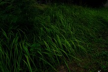 The Background Of Thatch Grass Is A Type Of Grass With Pointed Leaves That Often Becomes A Weed In Agricultural Land. Wallpaper