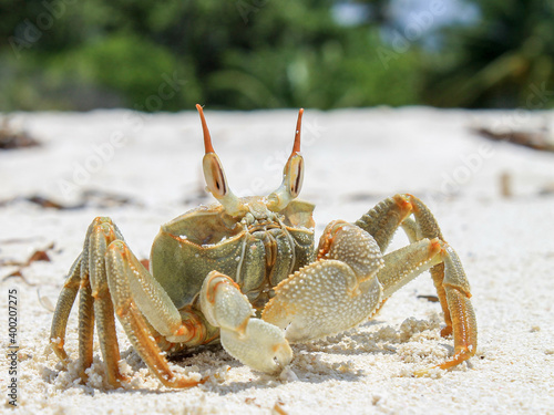 Fotomural Crab on the beach - Maledives