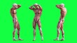 Leinwandbild Motiv Human anatomy of male muscular system - posterior and anterior view - 3d illustration - green background