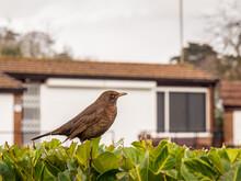 Female Blackbird In Urban Setting.