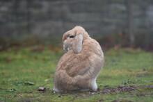 Sandy Dwarf Lop Eared Rabbit Looking Over Its Shoulder In Garden