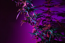 Cannabis Marijuana Flowering Bush With Buds In A Deep Purple Light Color. Artistic Fashion Modern Style Cannabis Background. Plant Of Female Marijuana For Medical Use With A High Content Of CBD THC
