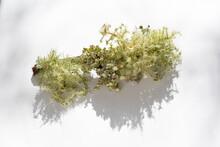 Usnea Lichen In Sunlight