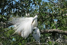 Beautiful Great White Egret On Tree