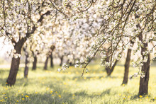 Spring Apple Trees Blossoming Blooming White Flowers Sunset Sunshine Sunny Branches Grass