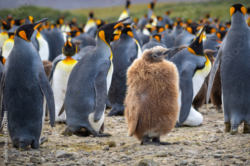 Young king penguin chick with brown plumage in a colony of king penguins close-up Fototapet