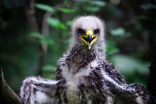 Portrait Of A Young Eagle, With Downy Plumage, Open Beak. Close-up, Against The Backdrop Of A Picturesque Bokeh.