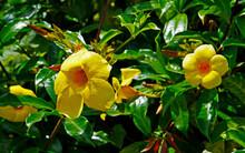Golden Trumpet Or Common Trumpetvine (Allamanda Cathartica)