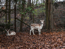 Deer In The Forest.  Two Resting Deer Are In The Autumn Forest Behind A Fence, Close-up Side View.