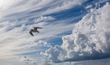 White Seagull Flying In Bright Blue Sky, With Its Wings Open. European Herring Gull (Larus Argentatus) Over Baltic Sea. Skyscape Background.