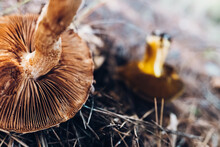 Detail Of Small Mushrooms Found In A Mediterranean Forest In Autumn, Out Of Focus Background With Narrow Depth Of Field.
