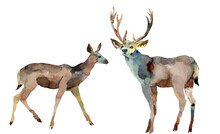 Couple Of Wild Deers. National Park Animals. Hand Drawn Watercolor Illustration. Isolate On White Background