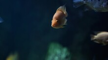 Close Up Of Cichlasoma In Water. Red Devil Cichlid Swimming With Others Fish In Aquarium.